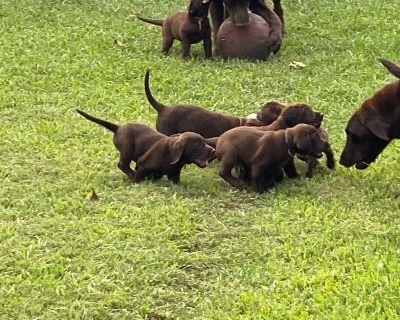 Akc registered chocolate Labrador Retriever puppies
