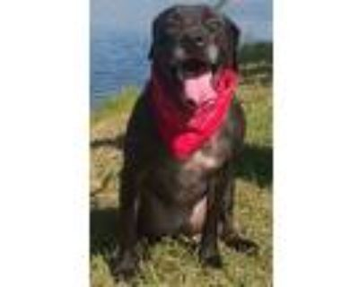 Adopt Carmelita a Black - with White Pit Bull Terrier / Labrador Retriever /