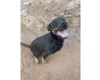 Adopt Athena a Black - with Tan, Yellow or Fawn Shepherd (Unknown Type) dog in