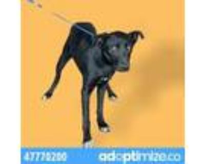 Adopt 47770200 a Black Shepherd (Unknown Type) / Mixed dog in El Paso