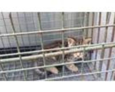 Adopt 47896634 a Gray or Blue Domestic Shorthair / Domestic Shorthair / Mixed