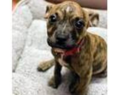 Adopt Mootopia IRO a Brindle American Pit Bull Terrier / Mixed dog in Portland