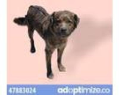 Adopt 47883024 a Brown/Chocolate Border Collie / Mixed dog in El Paso