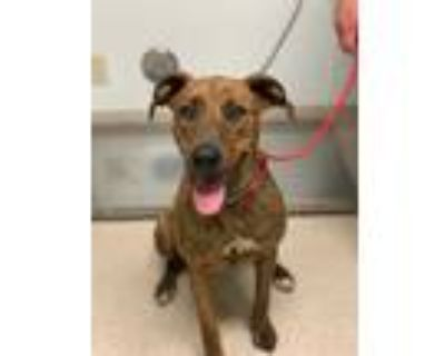 Adopt *REAGAN a Brindle - with White Plott Hound / Mixed dog in Bakersfield