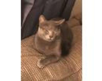 Adopt Sesame a Gray or Blue Russian Blue / Mixed (short coat) cat in Marlette