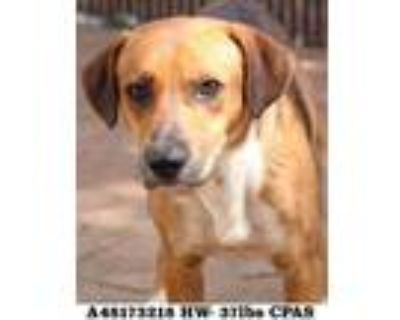 Adopt Mister a Brown/Chocolate Hound (Unknown Type) / Mixed dog in Shreveport