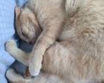 Adopt (Courtesy Listing) Cheddar a Domestic Short Hair