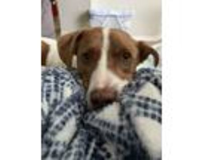 Adopt Airplane Jones a White - with Brown or Chocolate Australian Cattle Dog /