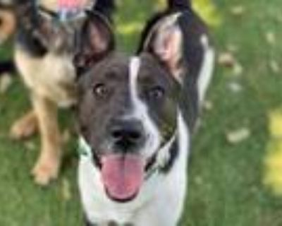 Adopt BRITTANY a Border Collie