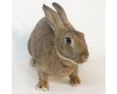 Adopt Mango Tango a Bunny Rabbit