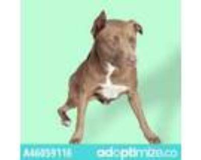 Adopt 46059116 a Brown/Chocolate Labrador Retriever / Mixed dog in El Paso