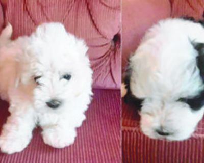 MALTIPOO PUPPIES 2 Males (1 white, 1 black & white) 8 weeks old. Up to date on shots...