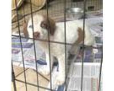Adopt Poppy a White - with Brown or Chocolate Spaniel (Unknown Type) / Mixed dog