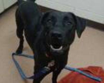Adopt Molly a Black Labrador Retriever / Mixed dog in Boulder, CO (31889092)