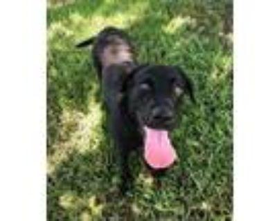 Adopt Charlie a Black Labrador Retriever / Mixed dog in Denver, CO (31626806)