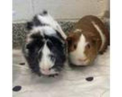 Adopt ERNIE a Guinea Pig