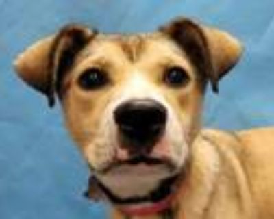Adopt Millie a Tan/Yellow/Fawn Black Mouth Cur / Husky / Mixed dog in Woodbury