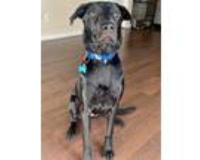 Adopt Ozzy a Black Labrador Retriever / Mixed dog in San Antonio, TX (32015552)