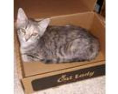 Adopt Lily and Sadie a Domestic Short Hair, Torbie