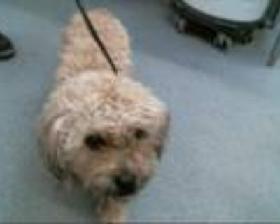 Adopt CUCO a White - with Tan, Yellow or Fawn Poodle (Standard) / Mixed dog in