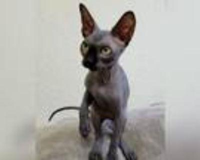 Black Female Sphynx Kitten