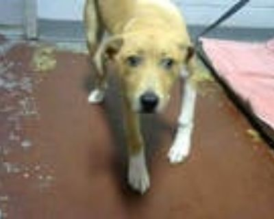 Adopt GARTH a Brown/Chocolate - with White American Pit Bull Terrier / Mixed dog