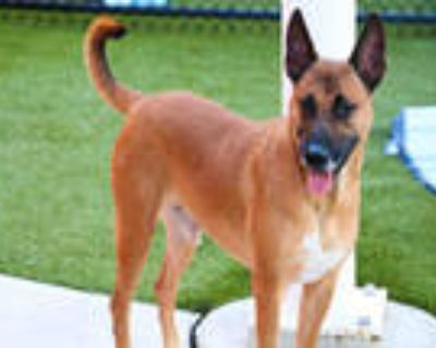 Adopt CHAMP a Tricolor (Tan/Brown & Black & White) German Shepherd Dog / Mixed