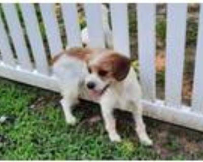 Adopt PONCHO a Fox Terrier