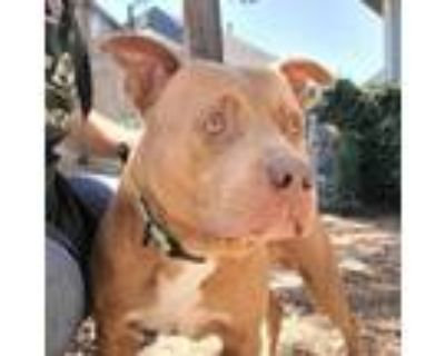 Adopt Hype a Pit Bull Terrier