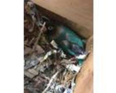 Adopt Pua a Blue Lovebird / Mixed bird in Largo, FL (31937668)