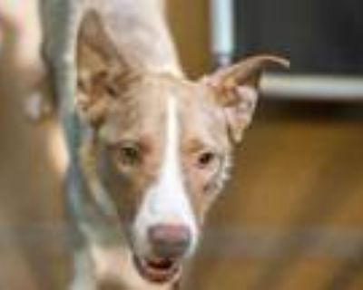 Adopt a Tan/Yellow/Fawn - with White Border Collie / Mixed dog in Martinez