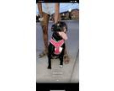 Adopt Asia a Black - with White American Pit Bull Terrier / Mixed dog in