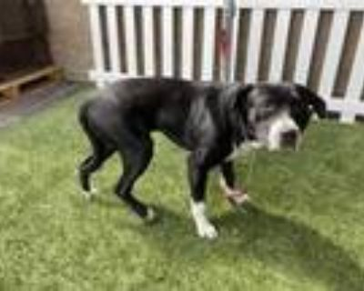 Adopt *LOGAN a Black - with White American Pit Bull Terrier / Mixed dog in