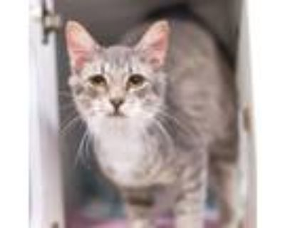 Adopt Axe a Gray or Blue Domestic Longhair / Domestic Shorthair / Mixed cat in