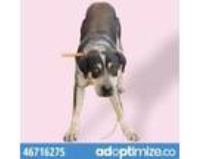Adopt Rossie a Tan/Yellow/Fawn Catahoula Leopard Dog / Mixed dog in El Paso