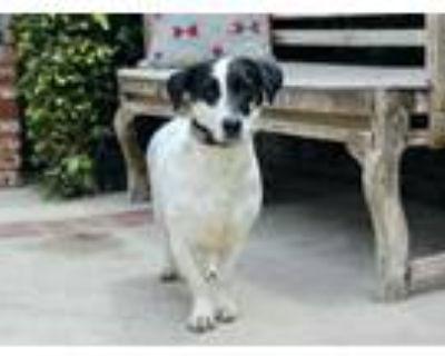 Adopt Rhonda a Basset Hound, Rat Terrier