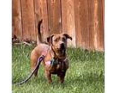 Adopt Georgia a Beagle, Dachshund