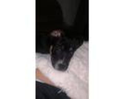 Adopt Nelly a Black - with Tan, Yellow or Fawn Spitz (Unknown Type