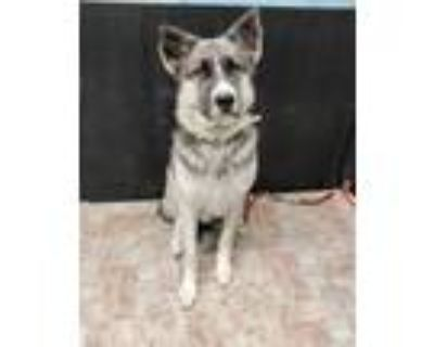Adopt STARSKY a German Shepherd Dog