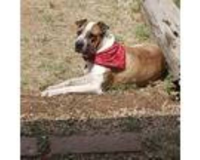Adopt Carmel a Brindle - with White Shar Pei / American Pit Bull Terrier / Mixed