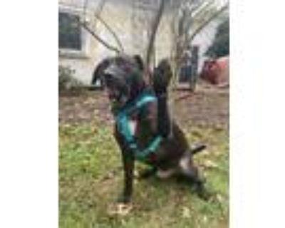 Adopt Moses a Black Labrador Retriever dog in Washington, DC (31159878)