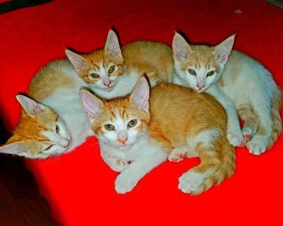 Orange kittens $85