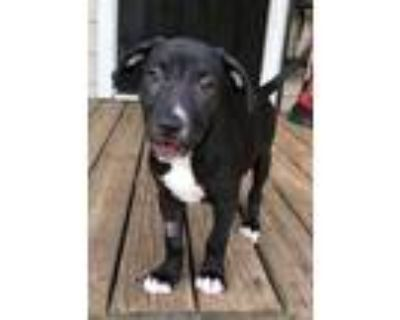 Adopt Litchi a Black - with White Labrador Retriever / Pit Bull Terrier / Mixed