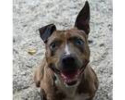 Adopt Carmelo a Brown/Chocolate Catahoula Leopard Dog / Mixed dog in Decatur