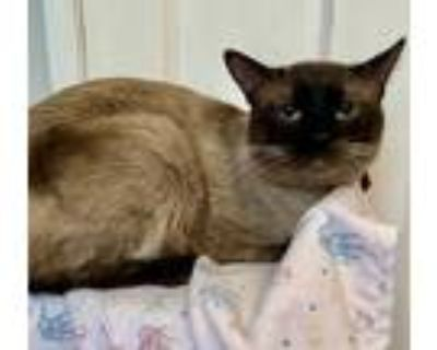 Adopt Oreo - YOUNG SIAMESE/TONKINESE a Tan or Fawn (Mostly) Tonkinese / Mixed