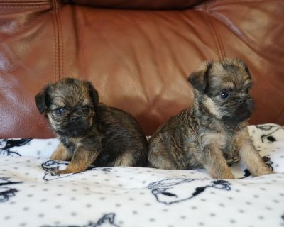 Brussels Griffon Female puppies available