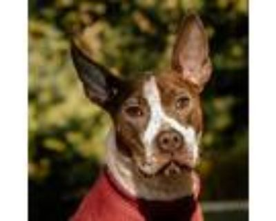 Adopt Nilla Wafer a American Staffordshire Terrier, Pit Bull Terrier