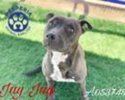 Adopt JAY JAY a Brown/Chocolate - with White American Pit Bull Terrier / Mixed