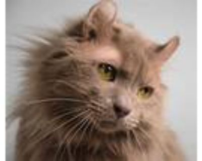 Adopt ELLIE a Gray or Blue American Curl / Mixed (long coat) cat in Loveland