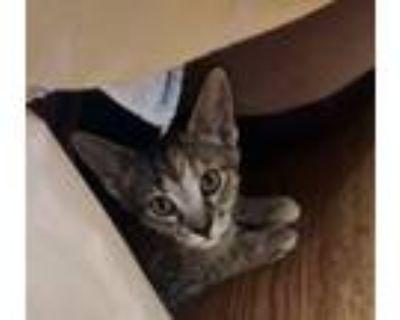 Adopt Chinook a Domestic Short Hair